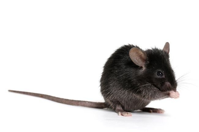 Why Do Medical Researchers Use Mice?